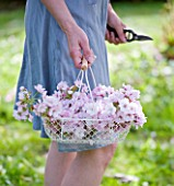 TREGOTHNAN  CORNWALL: GIRL HOLDING WHITE BASKET FILLED WITH BLOSSOM OF PRUNUS KANZAN