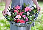 TREGOTHNAN  CORNWALL: GIRL HOLDING BASKET FILLED WITH MIXED HERITAGE CAMELLIA FLOWERS