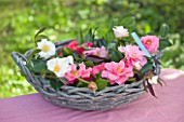 TREGOTHNAN  CORNWALL: BASKET FILLED WITH CAMELLIA FLOWERS
