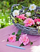 TREGOTHNAN  CORNWALL: BASKET FILLED WITH CAMELLIA FLOWERS - CAMELLIA DONATION AND HENRY TURNBULL IN BASKET