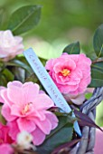 TREGOTHNAN  CORNWALL: CAMELLIA DONATION WITH WOODEN LABEL IN BASKET