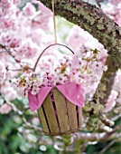 TREGOTHNAN  CORNWALL: BASKET HANGING FROM TREE FILLED WITH BLOSSOM OF PRUNUS KANZAN CUT FROM THE TREE