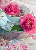 TREGOTHNAN  CORNWALL: CAMELLIA LAURA BOSCAWEN  ( X WILLIAMSII) IN VINTAGE TEA CUP - STYLING BY JACKY HOBBS