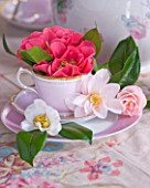 TREGOTHNAN  CORNWALL: CAMELLIAS IN VINTAGE TEA CUPS - STYLING BY JACKY HOBBS - CAMELLIA HENRY TURNBULL  LAURA BOSCAWEN  HORNSBY PINK AND SALUTATION