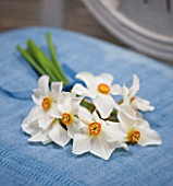 NARCISSUS ACTAEA ON BLUE CHAIR - STYLING BY JACKY HOBBS