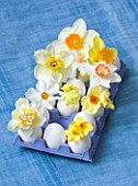 EGG BOX FILLED WITH NARCISSUS - GOLDEN DAWN  WHITE LION  MATADOR  PRIMROSE BEAUTY  ACTAEA  CAMILLA  BRIDESHEAD  FAWSEY  RED DEVON  EDWARD BUXTON  - STYLING BY JACKY HOBBS