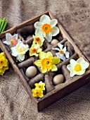 OLD WOODEN EGG BOX FILLED WITH NARCISSUS EDWARD BUXTON  ACTAEA  FOWEY  MATADOR  RED DEVON  CAMILLA  WHITE LION  GOLDEN DAWN - STYLING BY JACKY HOBBS