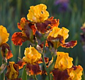 IRIS CAYEUX  FRANCE - IRIS FIESTA TIME