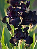 IRIS CAYEUX  FRANCE - IRIS BLACK SUITED