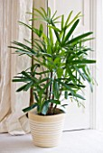 HOUSEPLANT PROJECT - CLARE MATTHEWS - LADY PALM - RHAPSIS EXCELSA IN CONTAINER IN CONSERVATORY