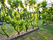 LE JARDIN DALCHIMISTE  PROVENCE  FRANCE: DESAIGNERS ARNAUD MAURIERES AND ERIC OSSART - PERGOLA WITH 22 DIFFERENT VARIETIES OF VINES