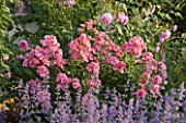 ANDRE EVE ROSE NURSERY  FRANCE: PINK SHRUB ROSE - ROSA  TORCHE ROSE AND NEPETA SIX HILLS GIANT