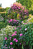 ANDRE EVE ROSE NURSERY  FRANCE: PERGOLA WITH ROSA PINK CLOUD AND ROSA ROVILLE. IN CENTRE AND AT FRONT IS ROSA BELLE AU BOIS DORMANT