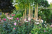 ANDRE EVE ROSE NURSERY  FRANCE: BORDER WITH EREMURUS  ROSA ROVILLE   ROSA TAUSENDSCHON AND ROSA MONSIEUR DE MOURAND