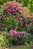 ANDRE EVE ROSE NURSERY  FRANCE: PERGOLA WITH ROSES - ROSA PINK CLOUD   ROSA ROVILLE CLIMBING AND IN FRONT ROSA BELLE AU BOIS DORMANT