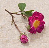 ANDRE EVE ROSE NURSERY  FRANCE: STILL LIFE CLOSE UP OF FLOWER OF GALLICA  ROSE - ROSA LA BELLE SULTANE