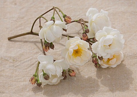 ANDRE_EVE_ROSE_NURSERY__FRANCE_CLOSE_UP_OF_THE_WHITE_FLOWERS_OF_ROSE__ROSA_TRIER