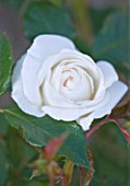 ANDRE EVE ROSE NURSERY  FRANCE: CLOSE UP OF THE WHITE ROSE - ROSA MME ALFRED CARRIERE - DAVID AUSTIN ROSE. SEMI- DOUBLE  CLIMBER