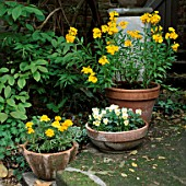 TERRACOTTA POTS WITH YELLOW PLANTING: (L-R) FRENCH MARIGOLDS (TAGETES)  PANSIES AND WALLFLOWERS (CHEIRANTHUS)
