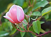 PRIEURE NOTRE-DAME DORSAN  FRANCE: EMERGING BUD OF ROSE ALBERTINE