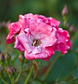 KINGSBRIDGE FARM  BUCKINGHAMSHIRE: CLOSE UP OF ROSE - ROSA RED BLANKET