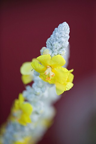 BARBARA_KENNINGTON_GARDEN__BRIGHTON_CLOSE_UP_OF_THE_YELLOW_FLOWER_OF_VERBASCUM_OLYMPICUM