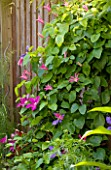 KARLA NEWELL GARDEN  BRIGHTON: SMALL TOWN GARDEN - CLEMATIS INCLUDING CLEMATIS TEXENSIS PRINCESS DIANA AND CLEMATIS DURANDII CLIMBING UP A FENCE