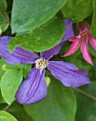 KARLA NEWELL GARDEN  BRIGHTON: SMALL TOWN GARDEN - CLOSE UP OF CLEMATIS DURANDII WITH CLEMATIS TEXENSIS PRINCESS DIANA BEHIND