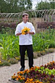 WHATLEY MANOR  WILTSHIRE: HEAD CHEF MARTIN BURGE PICKING COURGETTE FLOWERS IN THE KITCHEN GARDEN