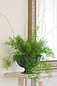 DESIGNER: CLARE MATTHEWS - HOUSEPLANT PROJECT - DARK GREY CONTAINER BY MIRROR PLANTED WITH AN ASPARAGUS FERN - ASPARAGUS DENSIFLORUS SPRENGERI