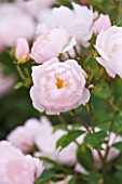 CLOSE UP OF THE PALE PINK FLOWERS OF ROSE/ ROSA SCARBOROUGH FAIR (AUSORAN) - DAVID AUSTIN ENGLISH ROSE  SEMI-DOUBLE  SCENTED