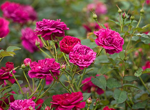 CLOSE_UP_OF_THE_RED_FLOWERS_OF_ROSE_ROSA_DARCEY_BUSSELL__AUSDECORUM__DAVID_AUSTIN_ENGLISH_ROSE__DOUB