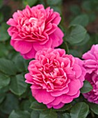 CLOSE UP OF THE PINK FLOWERS OF ROSE/ROSA PRINCESS ANNE (AUSKITCHEN) - DAVID AUSTIN EBGLISH ROSE - DOUBLE  SCENTED