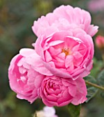 CLOSE UP OF THE PINK FLOWER OF ROSE/ ROSA SKYLARK (AUSIMPLE) - DAVID AUSTIN SHRUB ROSE  SEMI-DOUBLE  SCENTED