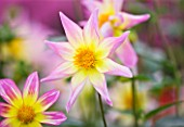 RHS GARDEN  WISLEY  SURREY: CLOSE UP OF THE PINK AND YELLOW FLOWER OF DAHLIA TRELYN SEREN - STAR DAHLIA