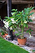 ULTING WICK  ESSEX - CONTAINER WITH BRUGMANSIA INSIDE THE COVERED WOODEN LOGGIA