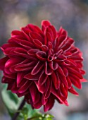 ULTING WICK  ESSEX - DAHLIA CON AMORE