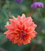 ULTING WICK  ESSEX - DAHLIA AUTUMN LUSTRE