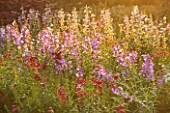 WATERPERRY GARDENS  OXFORDSHIRE: THE TRIAL BEDS AT DAWN WITH PENSTEMONS