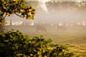 WATERPERRY GARDENS  OXFORDSHIRE: VIEW IN AUTUMN ACROSS RIVER THAME TO CATTLE  AT DAWN