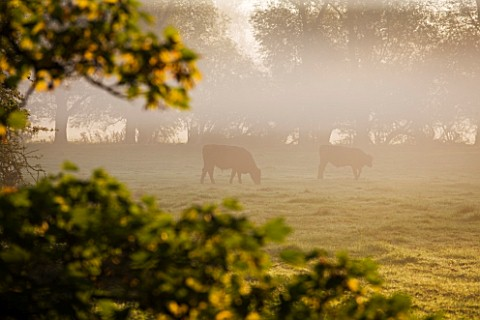 WATERPERRY_GARDENS__OXFORDSHIRE_VIEW_IN_AUTUMN_ACROSS_RIVER_THAME_TO_CATTLE__AT_DAWN