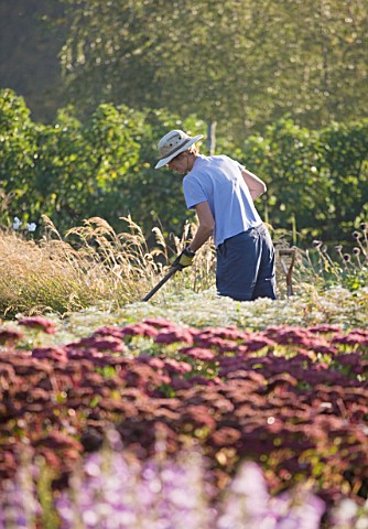WATERPERRY_GARDENS__OXFORDSHIRE_GARDENER_IN_THE_TRIAL_BEDS_AT_DAWN