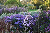 WATERPERRY GARDENS  OXFORDSHIRE: ASTERS IN THE TRIAL BEDS