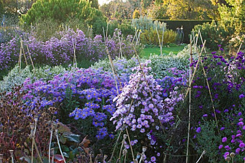 WATERPERRY_GARDENS__OXFORDSHIRE_ASTERS_IN_THE_TRIAL_BEDS