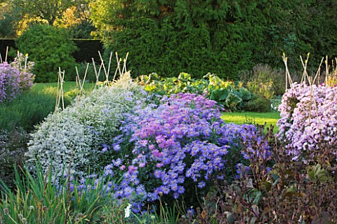WATERPERRY_GARDENS__OXFORDSHIRE_ASTERS_IN_THE_TRIAL_BEDS__EVENING_LIGHT