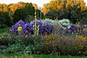 WATERPERRY GARDENS  OXFORDSHIRE: ASTERS  RUDBECKIAS AND VERBASCUMS IN THE TRIAL BEDS IN AUTUMN - EVENING LIGHT