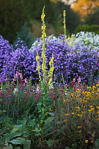 WATERPERRY_GARDENS__OXFORDSHIRE_ASTERS__RUDBECKIAS_AND_VERBASCUMS_IN_THE_TRIAL_BEDS_IN_AUTUMN__EVENI