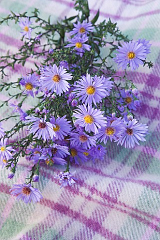 WATERPERRY_GARDENS__OXFORDSHIRE_BLUE_FLOWER_OF_ASTER_LAEVIS_CALLIOPE