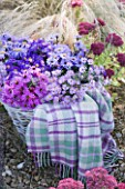 WATERPERRY GARDENS  OXFORDSHIRE: ASTERS IN AUTUMN BESIDE STIPA TENUISSIMA AND SEDUMS IN WICKER BASKET WITH BLANKET. STYLING BY JACKY HOBBS