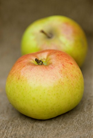 APPLE__MALUS_OXFORD_YEOMAN___WATERPERRY_APPLE_DAY_EVENT__WATERPERRY_GARDENS__OXFORDSHIRE